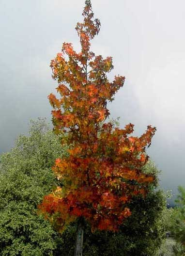 A slender tree with maple like leaves, in colors of red, orange, yellow, brown.